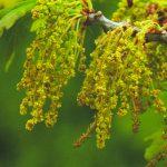 oak flower essence