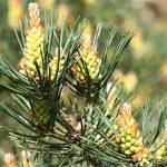 pine flower essence