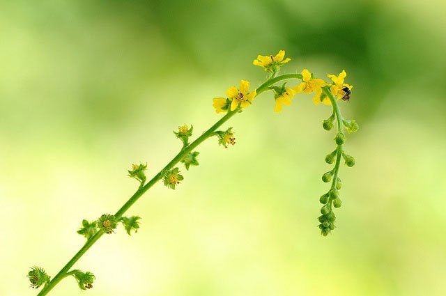 Agrimony Flower essence/remedy