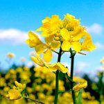 mustard flower essence
