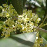 olive flower essence
