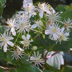 clemantis_bach_flower