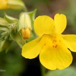 mimulus bach flower