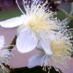 Goiaba Flower Essence