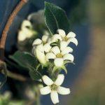 Canela flower essence